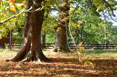 Chestnut trees in autumn Royalty Free Stock Image