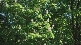 Chestnut. Trees bloom beautifully. stock footage