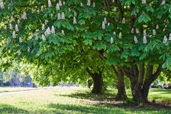 Chestnut trees in park Stock Photos