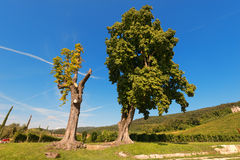 Chestnut Trees Stock Photos
