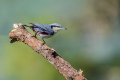 Chestnut-vented Nuthatch or Sitta nagaensis perching on branch. Chestnut-vented Nuthatch or Sitta nagaensis, beautiful bird  perching on branch with green Stock Image