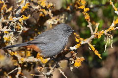 Chestnut-vented Tit-Babbler Royalty Free Stock Photo