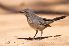 Chestnut-vented tit-babbler sitting Royalty Free Stock Image
