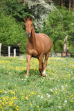 Chestnut warmblood running on green pasturage Royalty Free Stock Images