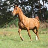 Chestnut warmblood running on green pasturage Stock Images