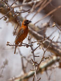 The Chestnut Weaver bird Stock Image