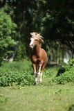 Chestnut welsh mountain pony stallion running Royalty Free Stock Images