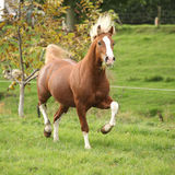 Chestnut welsh pony with blond hair running on pasturage Royalty Free Stock Image