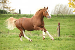 Chestnut welsh pony with blond hair running on pasturage Stock Photography
