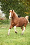 Chestnut welsh pony with blond hair running on pasturage. Chestnut welsh pony with blond hair running on green grass Royalty Free Stock Images