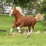 Chestnut welsh pony with blond hair running on pasturage Stock Image