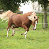 Chestnut welsh pony with blond hair running on pasturage Stock Images