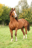 Chestnut welsh pony stallion in autumn Royalty Free Stock Photos