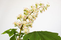Chestnut white Stock Images