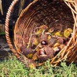 Chestnut in wicker basket Stock Image