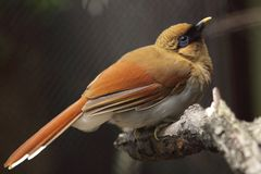 Chestnut-winged laughingthrush Royalty Free Stock Photography