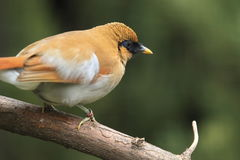 Chestnut-winged laughingthrush Royalty Free Stock Photos