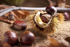 Free Chestnut With Bur Stock Images - 16498174