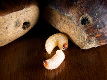 Chestnut worms Royalty Free Stock Photos