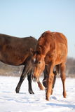 Chestnut young colt in the snow Royalty Free Stock Photos
