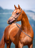 Chestnut young horse portrait Stock Images