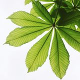Chestnut. Young leaf of chestnut stock image