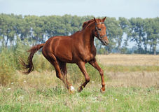 Chestnut young stallion galloping Stock Image