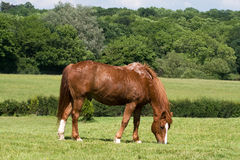 Chestnute gelding grazing. Chestnut horse sweating as he grazes Royalty Free Stock Photos