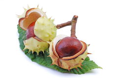 Free Chestnuts Stock Photo - 10399040