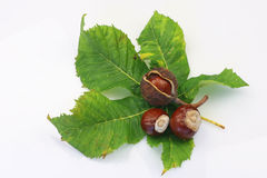 Chestnuts. Green chestnut leaf and some chestnuts on a white background Stock Photos