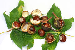 Chestnuts. Green chestnut leaves and a bunch of chestnuts on a white background Stock Images