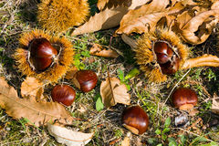 Chestnuts. Group of chestnuts in the wood - castanea sativa Royalty Free Stock Image