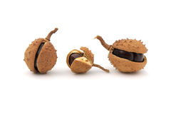 Chestnuts. Close-up of chestnuts with husk on white background Stock Image