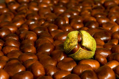 Chestnuts. Many brown chestnuts and one green Royalty Free Stock Photos