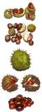 Chestnuts. Opened chestnuts in many perspectives Stock Image