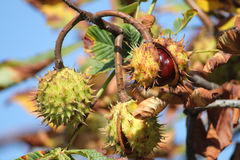 Chestnuts Royalty Free Stock Photo