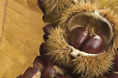 Chestnuts. With spikes close up Royalty Free Stock Photography