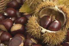 Chestnuts. With spikes close up Stock Photo