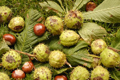 Chestnuts. Shot of Chestnuts in autumn lying on the ground an leafs Royalty Free Stock Image