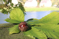 ...chestnuts... Stock Image