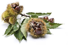 Chestnuts. Stock Photo