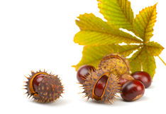 Chestnuts. And leaf on a white background Stock Images