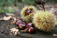 Chestnuts 2. Chestnuts and their sharp needles at autumn Stock Image