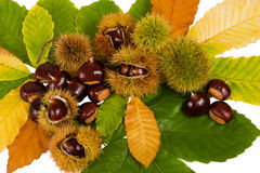 Chestnuts. And  husks Isolated on white Royalty Free Stock Images