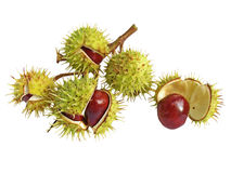 Chestnuts. Branch of chestnuts, isolated on white Royalty Free Stock Photo
