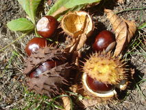 Chestnuts. Collection of chestnuts, prickly shells and leaves, on the ground Royalty Free Stock Images