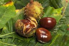 Chestnuts. Some Horse chestnuts on green chestnut leaves royalty free stock photo