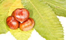 Chestnuts. Group of chestnuts over chestnut tree leaves Stock Image