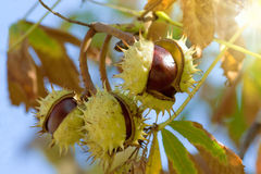 Chestnuts. On the chestnut tree against the sky royalty free stock photo