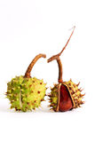 Chestnuts. Two chestnuts in a peel on a white background Stock Image